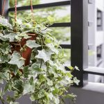 English Ivy for Indoor Air Quality